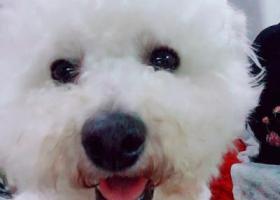 寻狗启示,寻找白色比熊狗狗男宝宝,它是一只非常可爱的宠物狗狗,希望它早日回家,不要变成流浪狗。