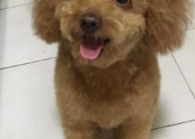 寻狗启示,棕色泰迪弟弟Lucky,捡到归还者必有重谢!联系方式17601249701,它是一只非常可爱的宠物狗狗,希望它早日回家,不要变成流浪狗。