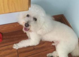 寻狗启示,丢失白色贵宾犬一只,急寻,它是一只非常可爱的宠物狗狗,希望它早日回家,不要变成流浪狗。