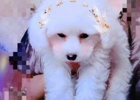 寻狗启示,寻狗启示:白色贵宾犬丢失,它是一只非常可爱的宠物狗狗,希望它早日回家,不要变成流浪狗。