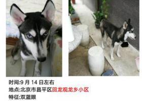 寻狗启示,北京昌平回龙观龙乡小区捡到哈士奇,公狗,希望主人前来认领!!!,它是一只非常可爱的宠物狗狗,希望它早日回家,不要变成流浪狗。
