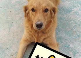 寻狗启示,寻找一只黄色金毛犬在河北省唐山市丰南区大翟庄附近走失,它是一只非常可爱的宠物狗狗,希望它早日回家,不要变成流浪狗。