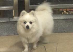 寻狗启示,福州闽侯正荣找公博美,它是一只非常可爱的宠物狗狗,希望它早日回家,不要变成流浪狗。