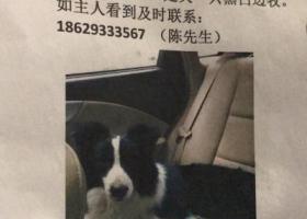 寻狗启示,边牧找主人,莲湖区大兴新区,它是一只非常可爱的宠物狗狗,希望它早日回家,不要变成流浪狗。