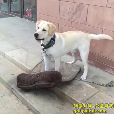 寻狗启示,一岁多黄色拉布拉多公狗走失,它是一只非常可爱的宠物狗狗,希望它早日回家,不要变成流浪狗。
