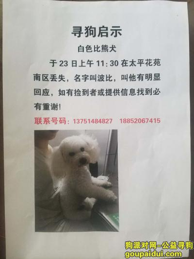 寻狗启示,有偿寻找白色比熊犬 重酬,它是一只非常可爱的宠物狗狗,希望它早日回家,不要变成流浪狗。