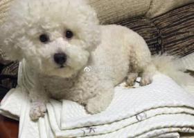 寻狗启示,深圳南山区重金寻比熊犬启事,它是一只非常可爱的宠物狗狗,希望它早日回家,不要变成流浪狗。