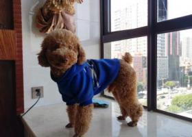 寻狗启示,5000元寻爱犬泰迪公,它是一只非常可爱的宠物狗狗,希望它早日回家,不要变成流浪狗。