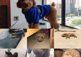 寻狗启示,寻爱犬泰迪哥哥,5000元酬金,它是一只非常可爱的宠物狗狗,希望它早日回家,不要变成流浪狗。