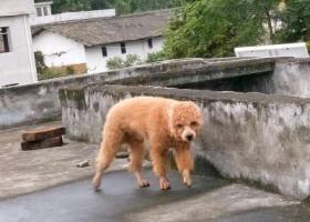 寻狗启示,番禺钟村寻找棕色泰迪,急!!!,它是一只非常可爱的宠物狗狗,希望它早日回家,不要变成流浪狗。