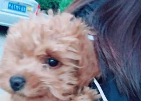 寻狗启示,9月23号上午9个月大的泰迪丢失,捡到重谢,它是一只非常可爱的宠物狗狗,希望它早日回家,不要变成流浪狗。