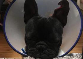 寻狗启示,西安雁塔区群贤路西桃园酬谢三千元寻找法斗,它是一只非常可爱的宠物狗狗,希望它早日回家,不要变成流浪狗。