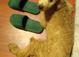 寻狗启示,中秋节巨峰路赵家沟桥附近捡到一只泰迪公宠物狗,它是一只非常可爱的宠物狗狗,希望它早日回家,不要变成流浪狗。