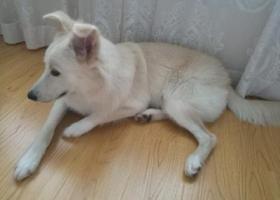 寻狗启示,甜甜等你回家,东港壹品尊园附近丢失,它是一只非常可爱的宠物狗狗,希望它早日回家,不要变成流浪狗。