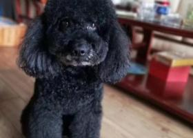 寻狗启示,急寻黑色泰迪狗(雄性),它是一只非常可爱的宠物狗狗,希望它早日回家,不要变成流浪狗。