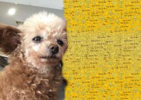 寻狗启示,吴中区太湖西路走失泰迪,它是一只非常可爱的宠物狗狗,希望它早日回家,不要变成流浪狗。