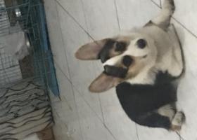 寻狗启示,荆州东门附近走失一只柯基,它是一只非常可爱的宠物狗狗,希望它早日回家,不要变成流浪狗。