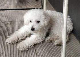 寻狗启示,北京朝阳区寻找白色贵宾,它是一只非常可爱的宠物狗狗,希望它早日回家,不要变成流浪狗。