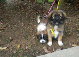 寻狗启示,寻找两只狗(一公一母),它是一只非常可爱的宠物狗狗,希望它早日回家,不要变成流浪狗。