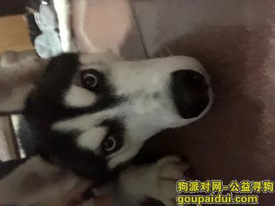 泸州找狗主人,急寻失主,哈士奇想你了,它是一只非常可爱的宠物狗狗,希望它早日回家,不要变成流浪狗。