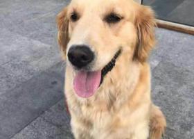 寻狗启示,知春里北京卫星制造厂遗失金毛犬母犬,它是一只非常可爱的宠物狗狗,希望它早日回家,不要变成流浪狗。