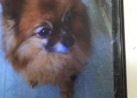 寻狗启示,南京二万元寻爱犬博美丽丽、望好心人看见联系我!!,它是一只非常可爱的宠物狗狗,希望它早日回家,不要变成流浪狗。
