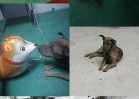 寻狗启示,惠阳新圩塘吓走失小狗!拜托大家看到能联系我,它是一只非常可爱的宠物狗狗,希望它早日回家,不要变成流浪狗。