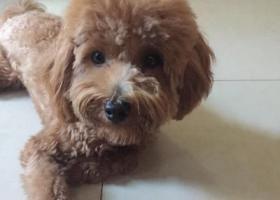 寻狗启示,急寻浅棕色泰迪,未断尾,它是一只非常可爱的宠物狗狗,希望它早日回家,不要变成流浪狗。