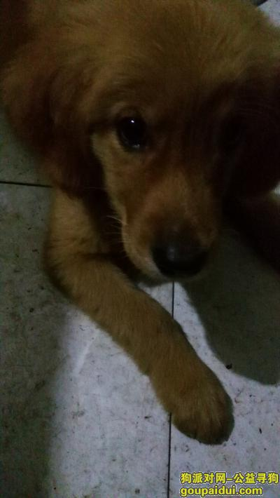 泸州寻狗启示,泸州小金毛,寻找主人,三天时间哦,它是一只非常可爱的宠物狗狗,希望它早日回家,不要变成流浪狗。