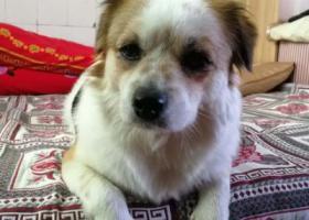 寻狗启示,寻找爱宠,爱宠叫来福,叫它有反应,它是一只非常可爱的宠物狗狗,希望它早日回家,不要变成流浪狗。