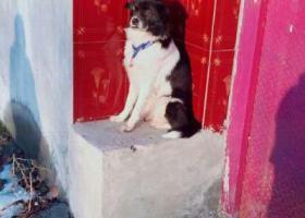 寻狗启示,合肥市经开区探海路寻狗,它是一只非常可爱的宠物狗狗,希望它早日回家,不要变成流浪狗。