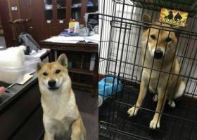 寻狗启示,嘉兴市桐乡复兴南路柳莺花园酬谢五千元寻找柴犬,它是一只非常可爱的宠物狗狗,希望它早日回家,不要变成流浪狗。
