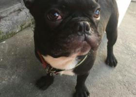 寻狗启示,【常熟市寻狗】小狗是一只公的黑色法斗,它是一只非常可爱的宠物狗狗,希望它早日回家,不要变成流浪狗。