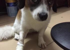 寻狗启示,在东莞虎门威远大桥附近不见的,它是一只非常可爱的宠物狗狗,希望它早日回家,不要变成流浪狗。