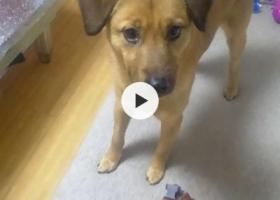 寻狗启示,在黄台南路丢失一只大黄狗,它是一只非常可爱的宠物狗狗,希望它早日回家,不要变成流浪狗。