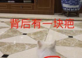 寻狗启示,刚剃毛的白色博美 小雪 身上有疤,它是一只非常可爱的宠物狗狗,希望它早日回家,不要变成流浪狗。