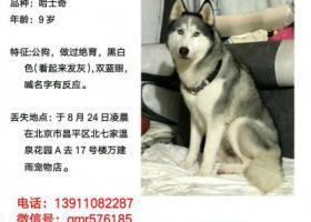 寻狗启示,北京昌平北七家5000寻找哈士奇!!!!,它是一只非常可爱的宠物狗狗,希望它早日回家,不要变成流浪狗。