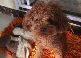 寻狗启示,急寻爱犬,必有重谢!,它是一只非常可爱的宠物狗狗,希望它早日回家,不要变成流浪狗。