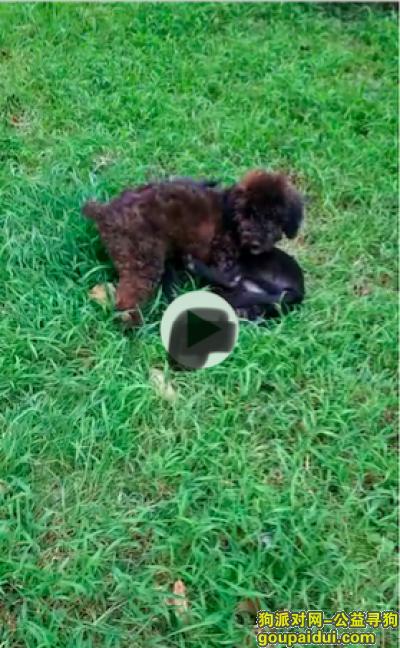 广安寻狗网,于9月27日在四川省广安市国际商业中心地下车库遗失一只棕黑色的泰迪,发现请联系,必将重金答谢!!,它是一只非常可爱的宠物狗狗,希望它早日回家,不要变成流浪狗。