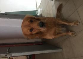 寻狗启示,可怜的金毛等待着主人来找它,它是一只非常可爱的宠物狗狗,希望它早日回家,不要变成流浪狗。