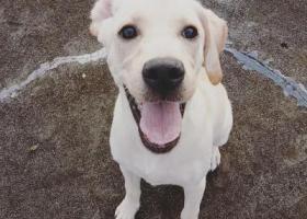 寻狗启示,铜梁重酬寻拉布拉多妹妹,它是一只非常可爱的宠物狗狗,希望它早日回家,不要变成流浪狗。