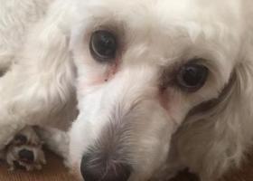 寻狗启示,9月30晚上8点左右走丢,它是一只非常可爱的宠物狗狗,希望它早日回家,不要变成流浪狗。