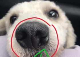 寻狗启示,1千元寻狗白色比熊鼻子有缺陷,它是一只非常可爱的宠物狗狗,希望它早日回家,不要变成流浪狗。