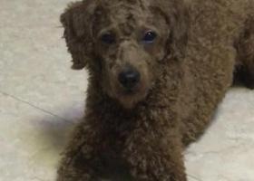 寻狗启示,寻狗!泰迪!!!济南玉函北区附近,它是一只非常可爱的宠物狗狗,希望它早日回家,不要变成流浪狗。