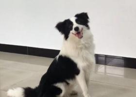 寻狗启示,北京怀柔区南大街附近丢失边牧,恳请附近好心人帮忙留意,它是一只非常可爱的宠物狗狗,希望它早日回家,不要变成流浪狗。