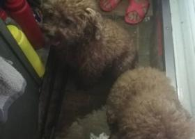 寻狗启示,普陀区亚新广场附近捡到两只泰迪,一公一母,它是一只非常可爱的宠物狗狗,希望它早日回家,不要变成流浪狗。