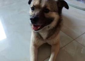 寻狗启示,文三路古墩路走丢一只身上剃毛过的小型公的中华犬,它是一只非常可爱的宠物狗狗,希望它早日回家,不要变成流浪狗。