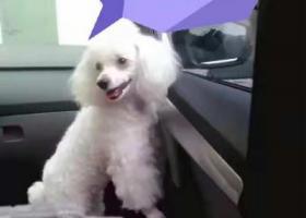 寻狗启示,国庆节东营服务区丢失一只小型白色贵宾犬一只,它是一只非常可爱的宠物狗狗,希望它早日回家,不要变成流浪狗。