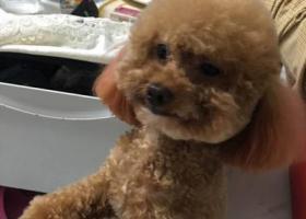 寻狗启示,北京朝阳区东坝华瀚福园酬谢五千元寻找泰迪,它是一只非常可爱的宠物狗狗,希望它早日回家,不要变成流浪狗。