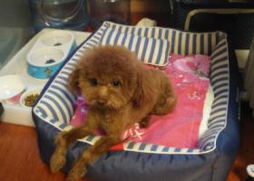 寻狗启示,重金寻狗,五岁泰迪,瘦小,它是一只非常可爱的宠物狗狗,希望它早日回家,不要变成流浪狗。